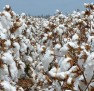 How many Cotton irrigations are required in Solid, Single Skip and Double skip configurations?