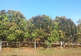 black-sooty-mould-on-mangos