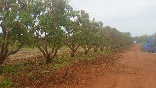 cleared-canopy-mangos-2