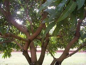 cleared-mango-canopy