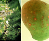 Mango Scale and Pink Wax Scale IPM in the Burdekin
