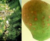 Mango Scale and Pink Wax Scale IPM in the Burdekin