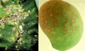 mango-scale-damage